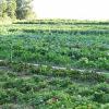 L'agricoltura più verde in Europa? E' in Italia